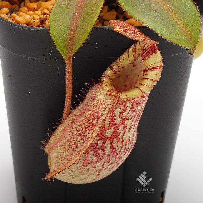 New arrival plants | 新掲載植物 ネペンテス新交配品種などを掲載致しました。_d0376039_19545726.jpg