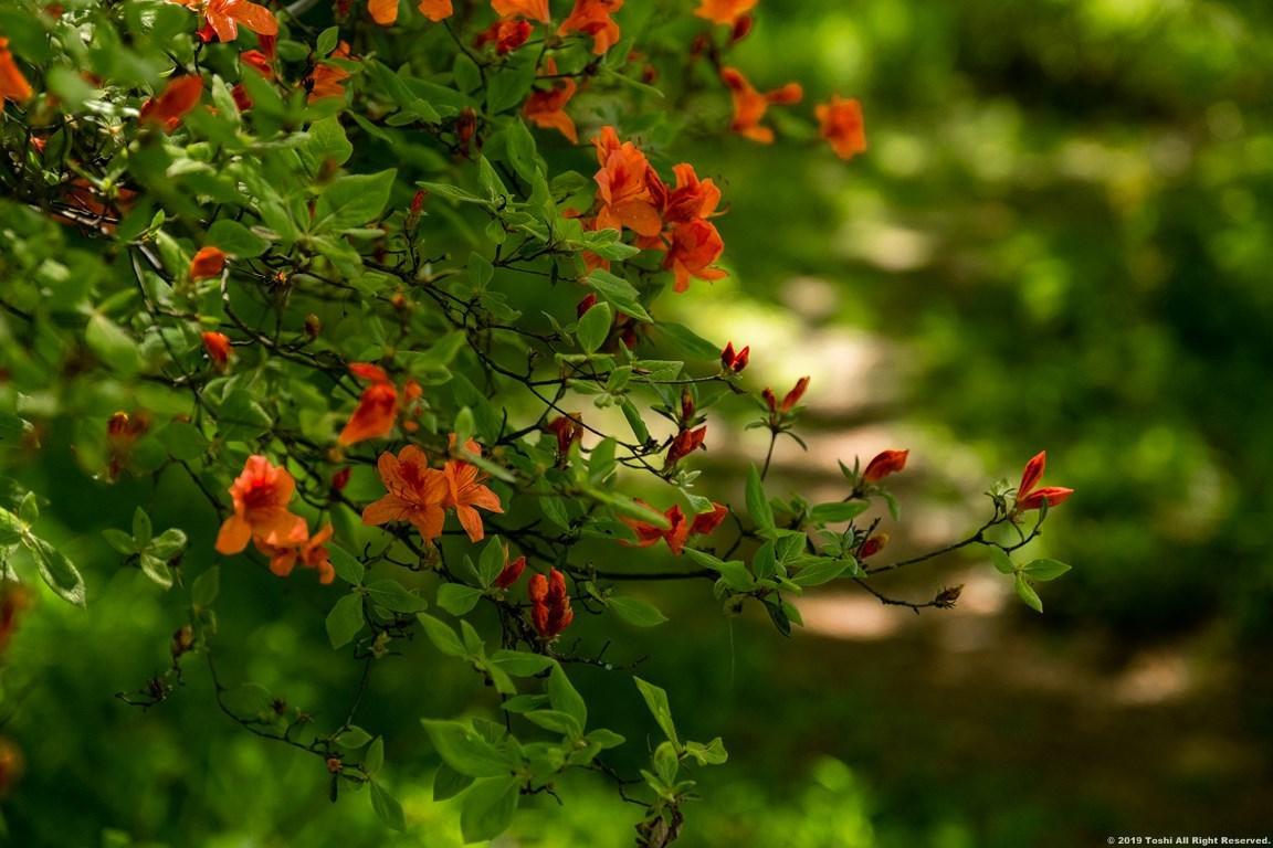 鳥見山 新緑とツツジ_c0350572_16194473.jpg