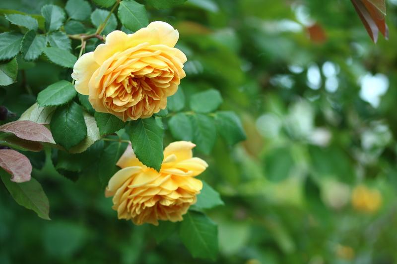 Rose_a0110787_9441531.jpg