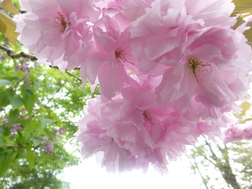 満開の八重桜_b0198109_13094693.jpg