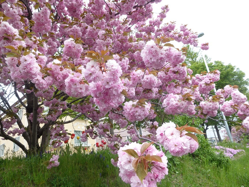 満開の八重桜_b0198109_13095706.jpg