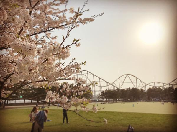 シーパラの桜。_b0061023_11271552.jpg