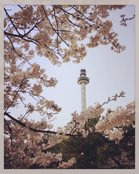 シーパラの桜。_b0061023_11271620.jpg