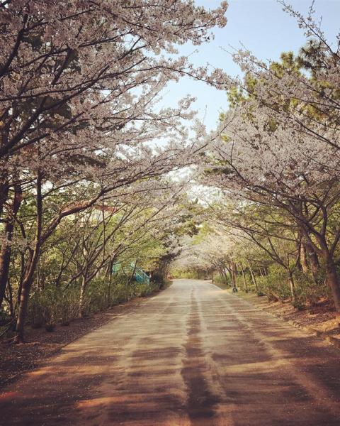 シーパラの桜。_b0061023_11271778.jpg