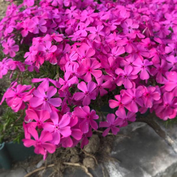 シーパラの桜。_b0061023_11271838.jpg
