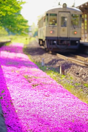 5月4日 何度でも・・・丹鉄の芝桜と百毫寺の藤_f0037227_20305897.jpg