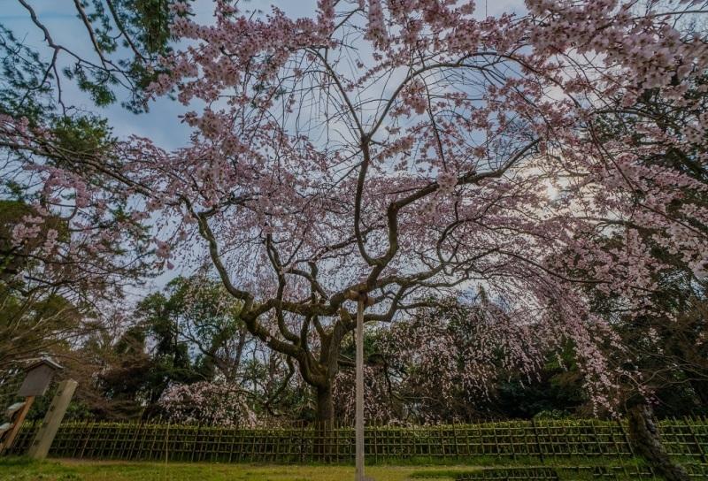 圧倒的桜。平成FINAL_e0363038_14311026.jpg