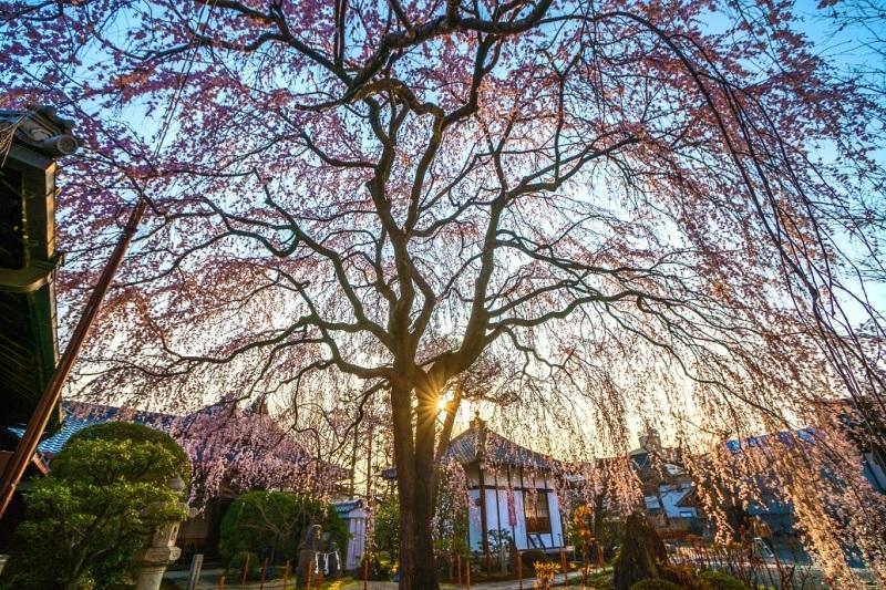 圧倒的桜。平成FINAL_e0363038_14311499.jpg