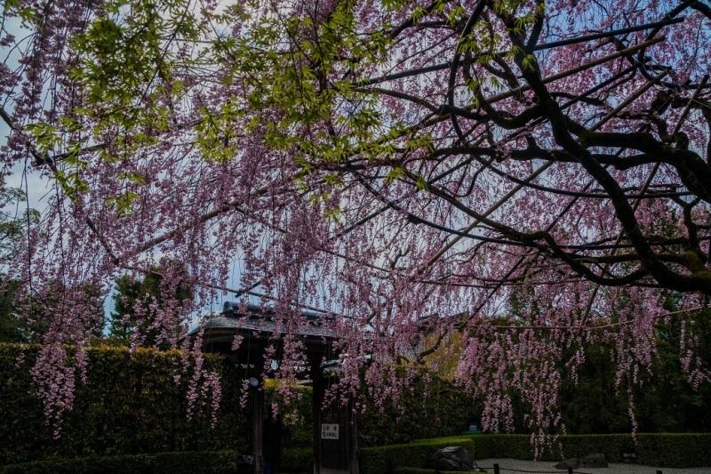 圧倒的桜。平成FINAL_e0363038_14312006.jpg