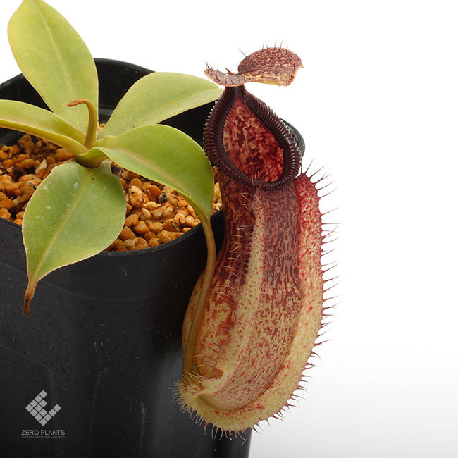 New arrival plants | 新掲載植物 ネペンテス新交配品種などを掲載致しました。_d0376039_11391869.jpg