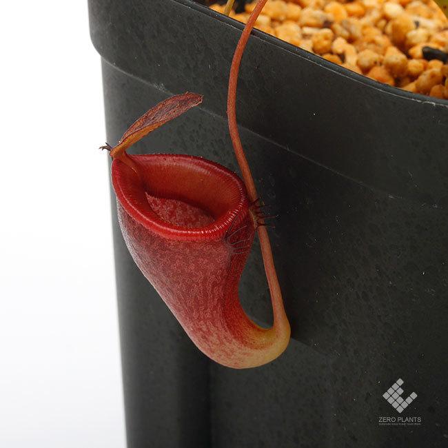 New arrival plants | 新掲載植物 ネペンテス新交配品種などを掲載致しました。_d0376039_11423272.jpg