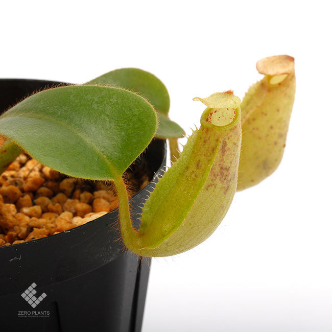 New arrival plants | 新掲載植物 ネペンテス新交配品種などを掲載致しました。_d0376039_11534649.jpg