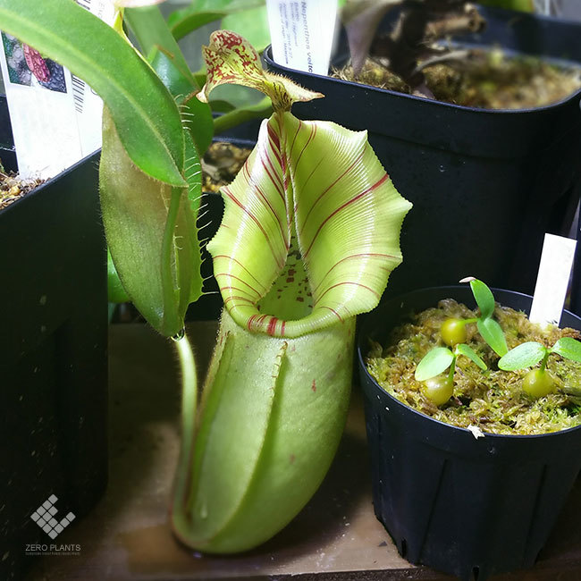 New arrival plants | 新掲載植物 ネペンテス新交配品種などを掲載致しました。_d0376039_11543001.jpg