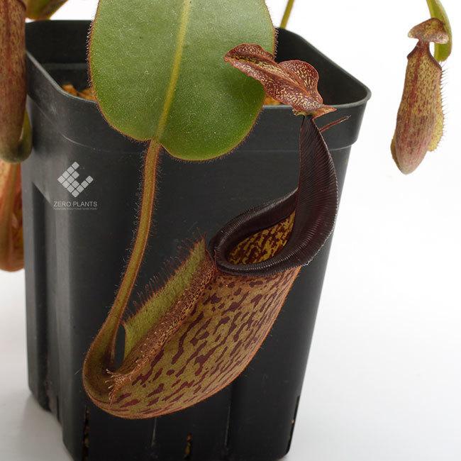 New arrival plants | 新掲載植物 ネペンテス新交配品種などを掲載致しました。_d0376039_12015654.jpg