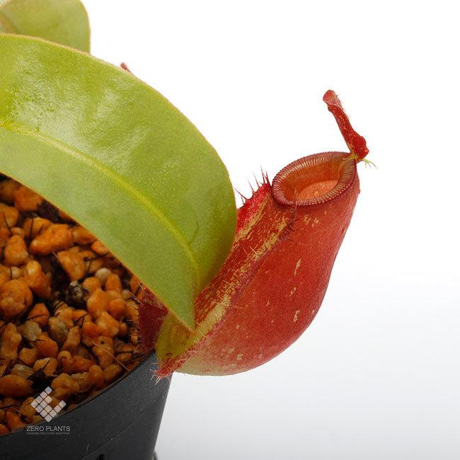 New arrival plants | 新掲載植物 ネペンテス新交配品種などを掲載致しました。_d0376039_12091158.jpg