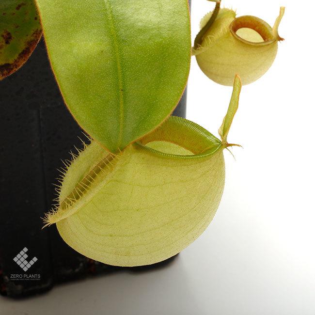 New arrival plants | 新掲載植物 ネペンテス新交配品種などを掲載致しました。_d0376039_12092512.jpg