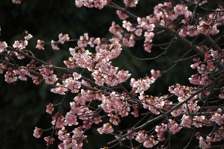 圧倒的桜。平成FINAL_c0067040_20261900.jpg