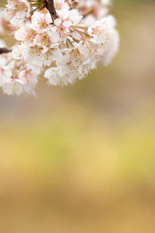 圧倒的桜。平成FINAL_c0067040_20262958.jpg