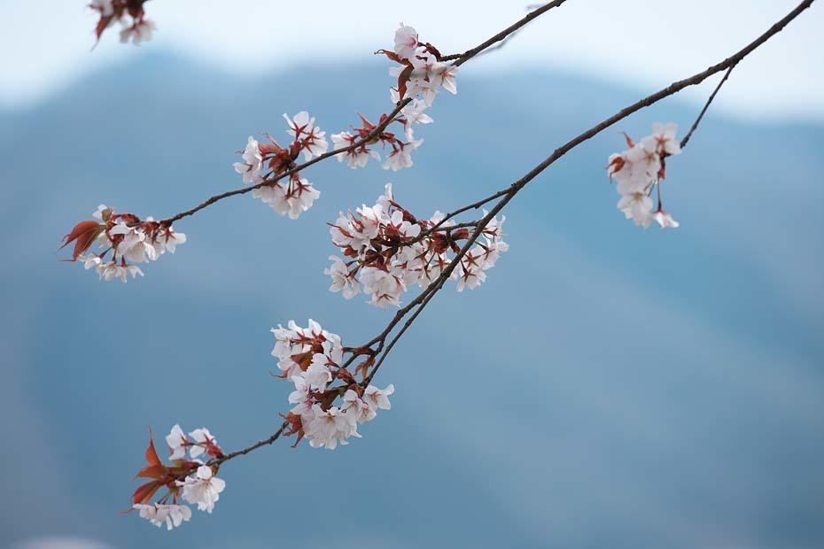 圧倒的桜。平成FINAL_c0067040_20264590.jpg