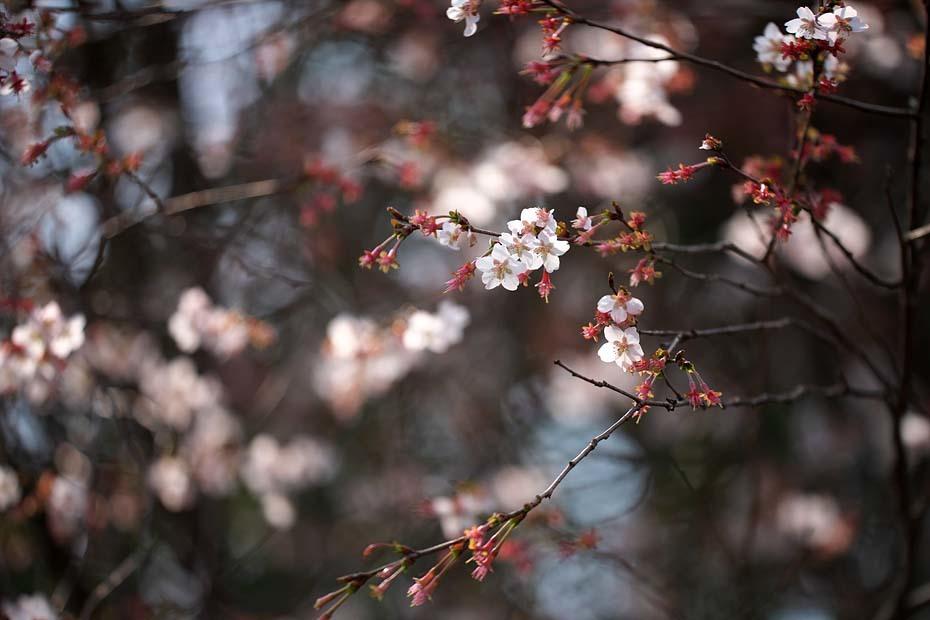 圧倒的桜。平成FINAL_c0067040_20265502.jpg