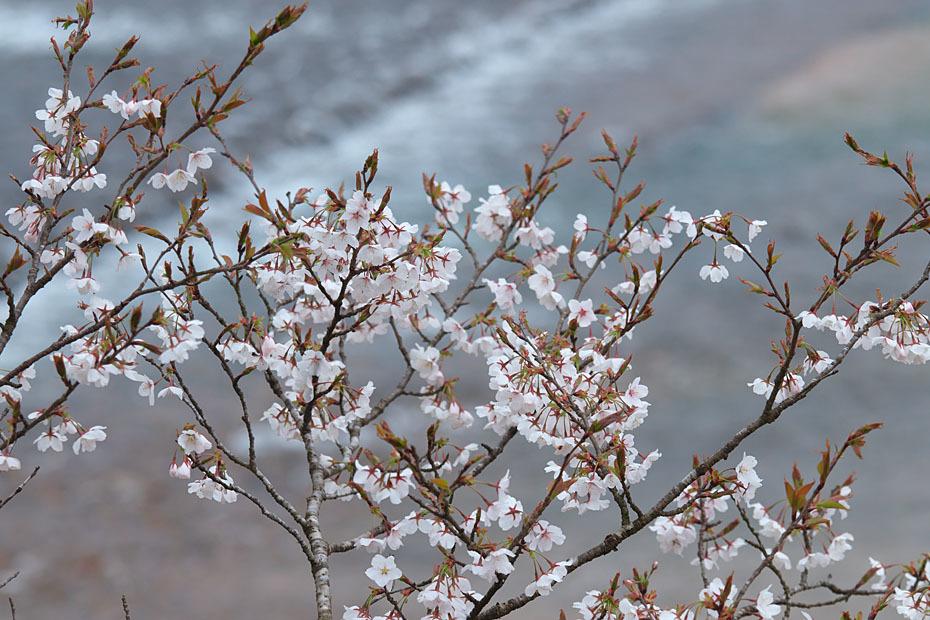 圧倒的桜。平成FINAL_c0067040_20271683.jpg
