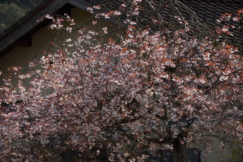 圧倒的桜。平成FINAL_c0067040_20272744.jpg