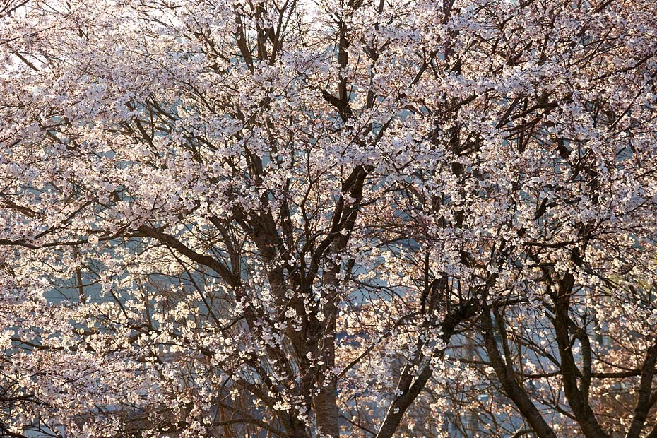 圧倒的桜。平成FINAL_c0067040_20274684.jpg