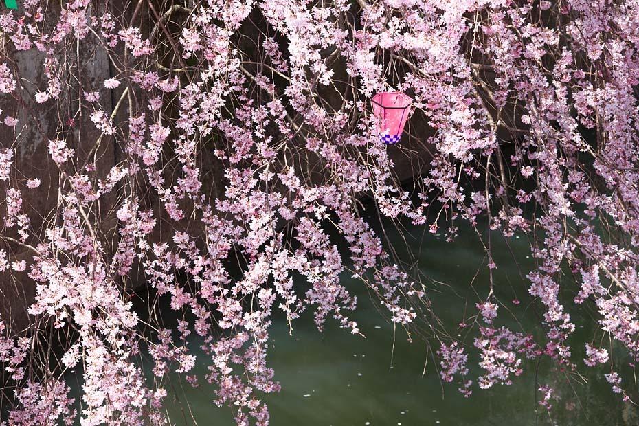 圧倒的桜。平成FINAL_c0067040_20280678.jpg