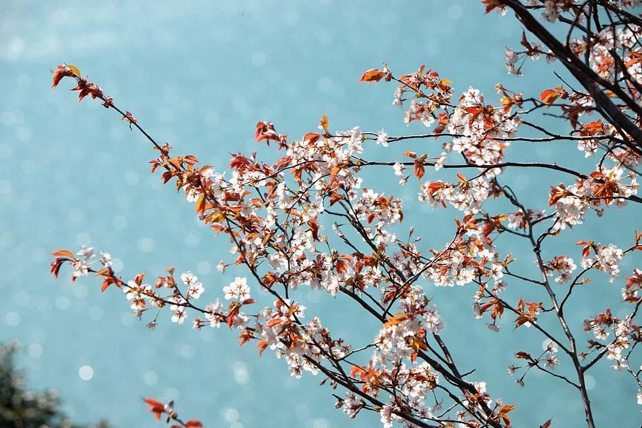 圧倒的桜。平成FINAL_c0067040_20282323.jpg