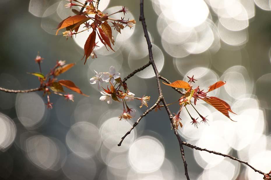 圧倒的桜。平成FINAL_c0067040_20283156.jpg
