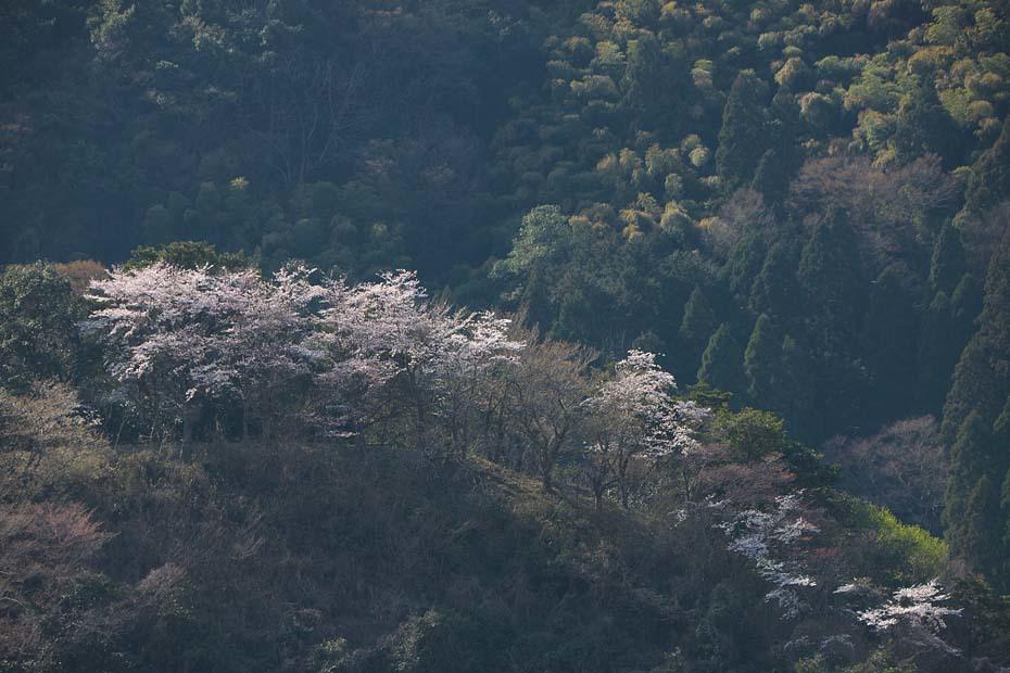 圧倒的桜。平成FINAL_c0067040_20284250.jpg