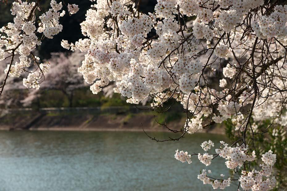圧倒的桜。平成FINAL_c0067040_20284921.jpg