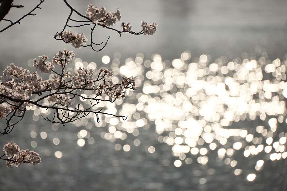 圧倒的桜。平成FINAL_c0067040_20290083.jpg