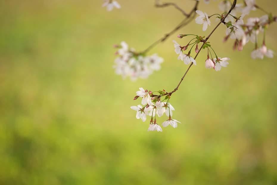 圧倒的桜。平成FINAL_c0067040_20291359.jpg