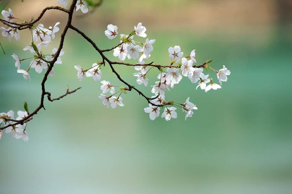 圧倒的桜。平成FINAL_c0067040_20293973.jpg
