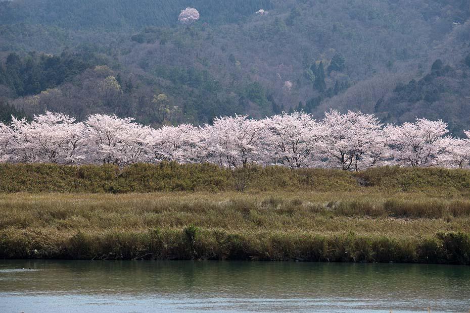 圧倒的桜。平成FINAL_c0067040_20294896.jpg