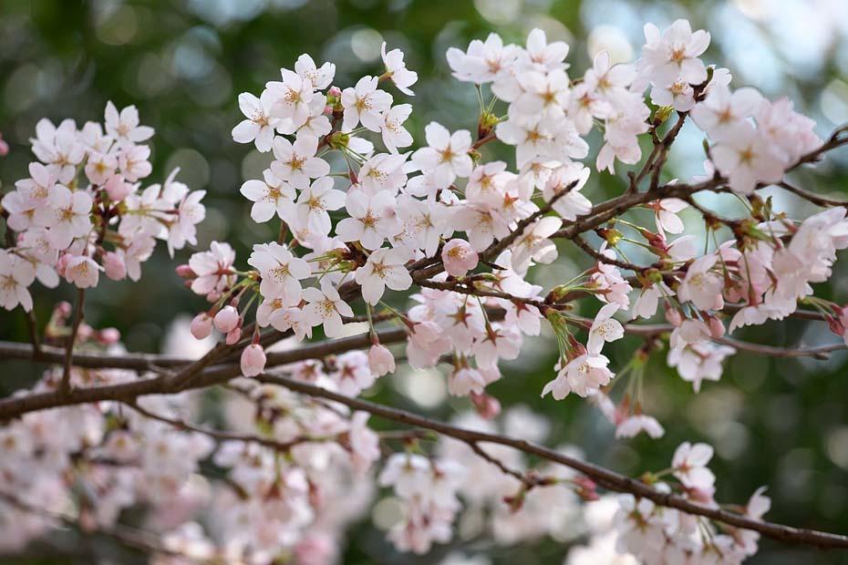 圧倒的桜。平成FINAL_c0067040_20295716.jpg