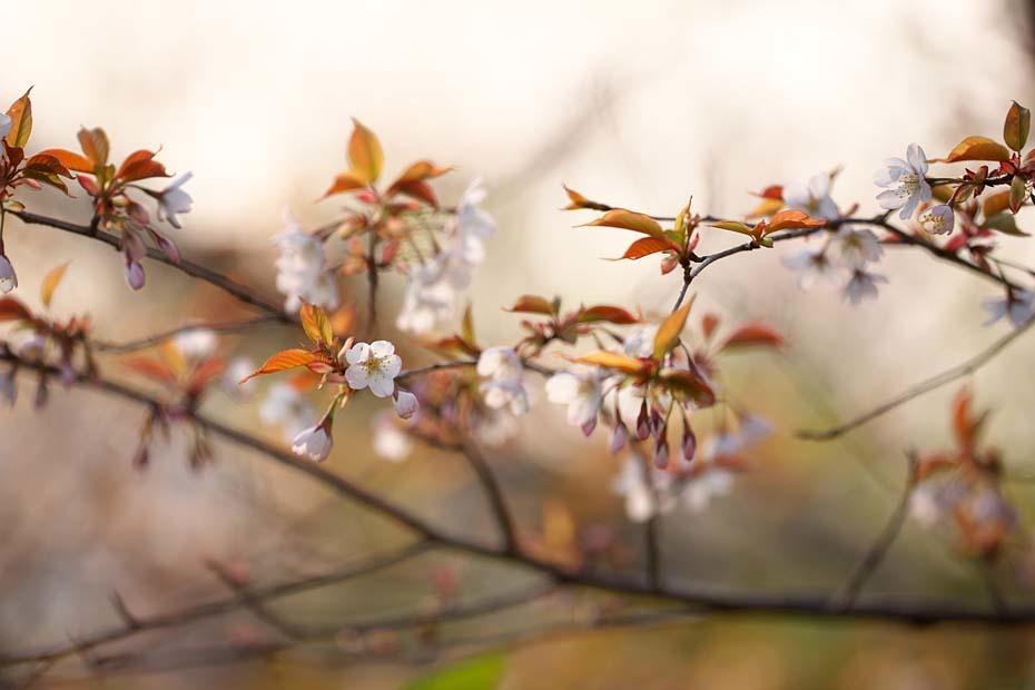圧倒的桜。平成FINAL_c0067040_20300706.jpg