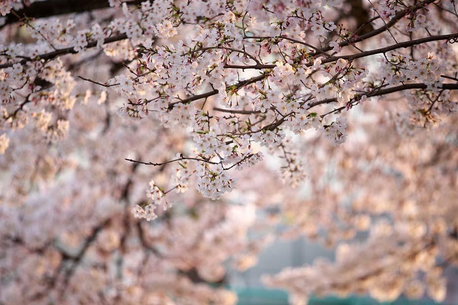 圧倒的桜。平成FINAL_c0067040_20302033.jpg