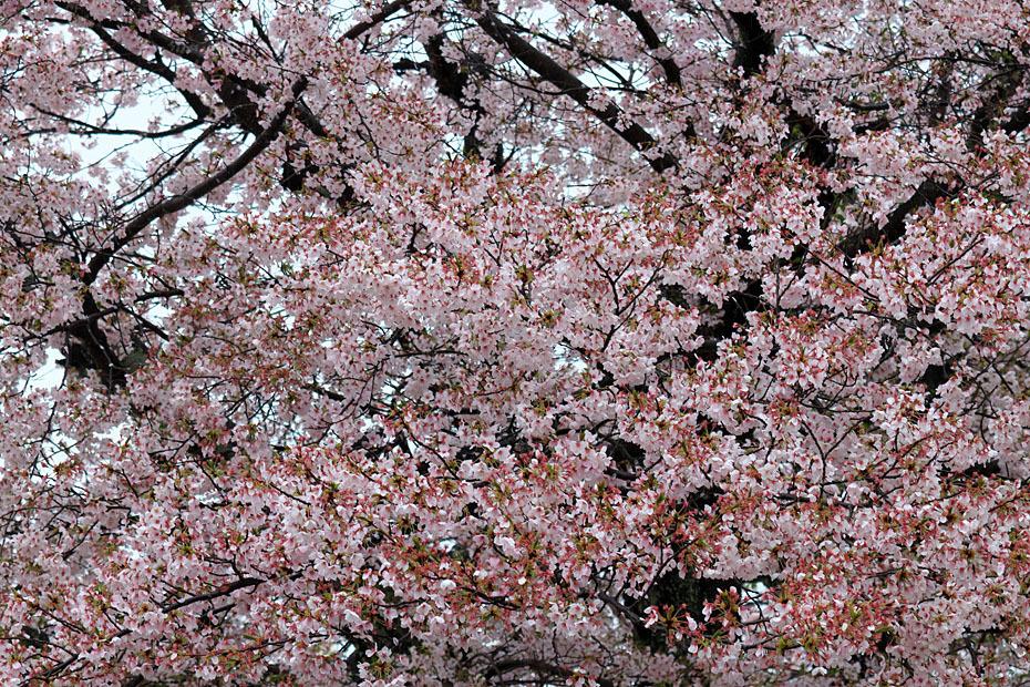 圧倒的桜。平成FINAL_c0067040_20304400.jpg