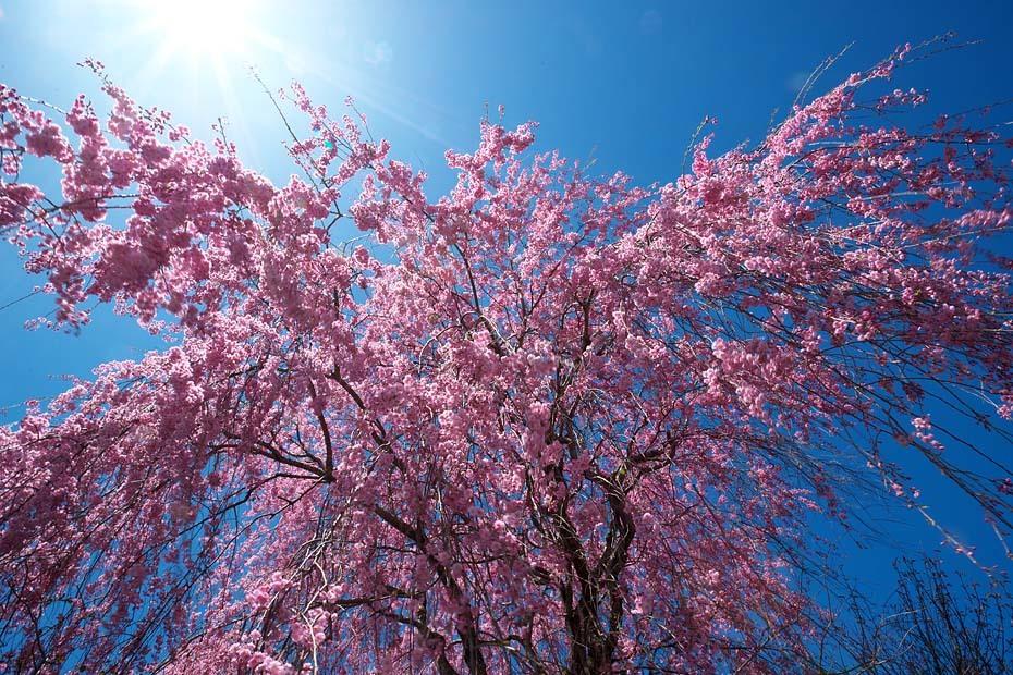 圧倒的桜。平成FINAL_c0067040_20310272.jpg