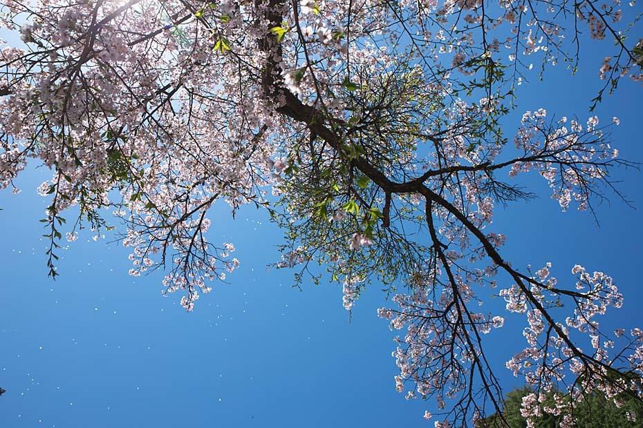 圧倒的桜。平成FINAL_c0067040_20311268.jpg