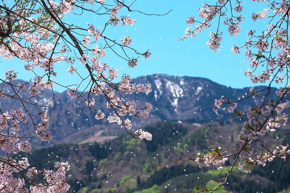 圧倒的桜。平成FINAL_c0067040_20312261.jpg