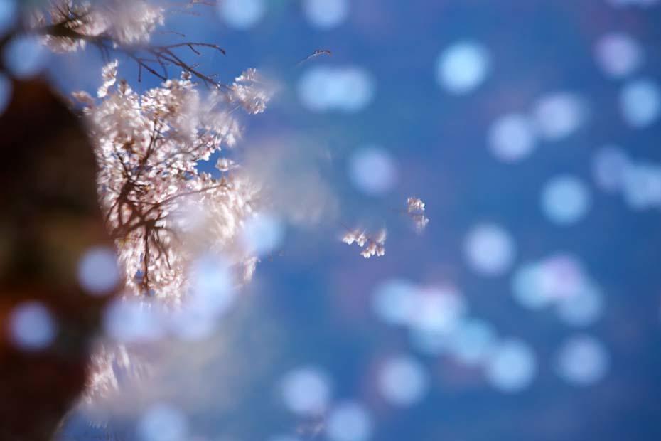 圧倒的桜。平成FINAL_c0067040_20313115.jpg