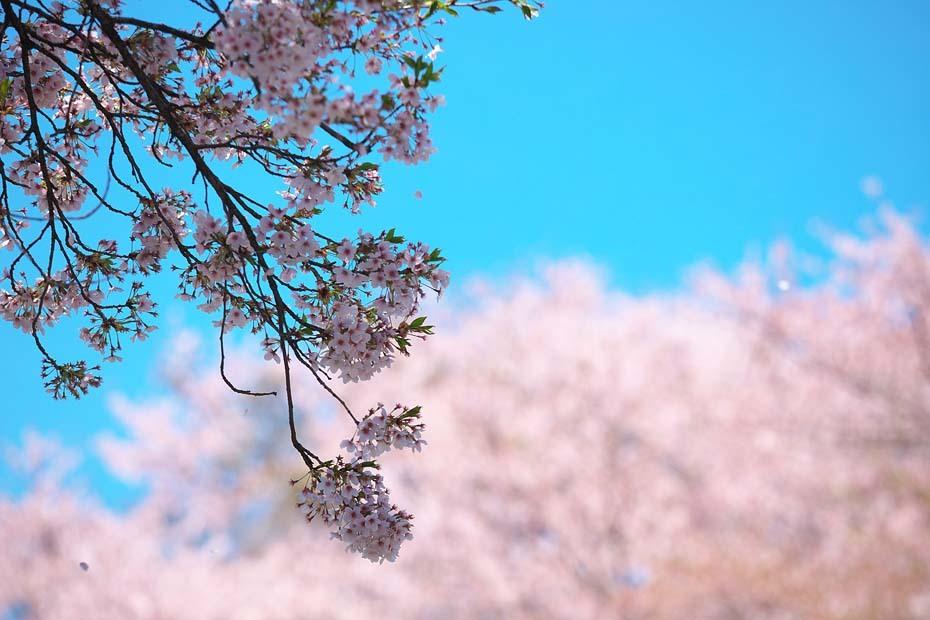 圧倒的桜。平成FINAL_c0067040_20314502.jpg