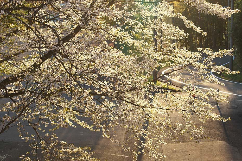 圧倒的桜。平成FINAL_c0067040_20315345.jpg