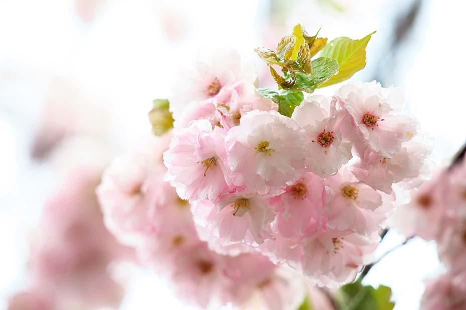 圧倒的桜。平成FINAL_c0067040_20320107.jpg