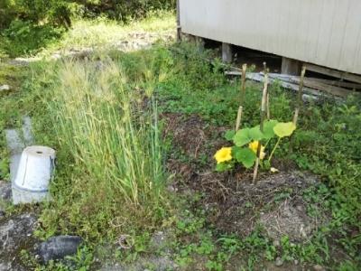 生姜の芽かと思ったら・・・古民家畑の様子_c0330749_18525335.jpg