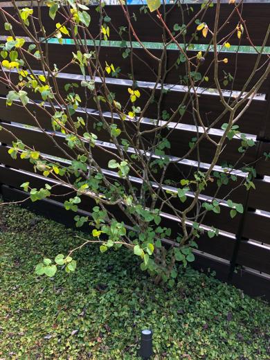 庭のマルバノキ 樹高2.3メートル_e0074251_07565457.jpg
