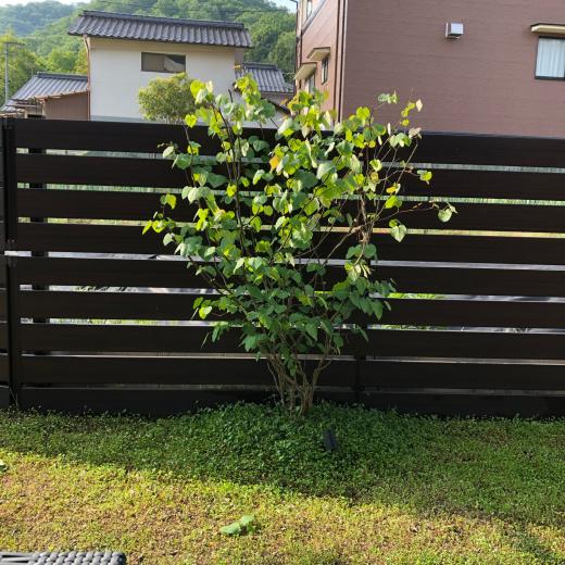 庭のマルバノキ 樹高2.3メートル_e0074251_08034901.jpg